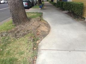 repaired sidewalk around tree, P Street at 16th Street